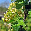 Currant In Bloom