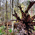 Cypress Roots by Kristin Elmquist