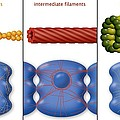 Cytoskeleton Components, Diagram by Art For Science