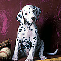 Dalmatian Puppy With Baseball by Garry Gay