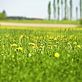 Dandelions Growing In Meadow by Stock4b-rf