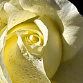 Delightful Yellow Rose With Dew by Tracie Kaska