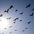 Demoiselle Cranes (anthropoides Virgo) Group Of Birds Flying, In Khichan, Rajasthan, India by Berndt Fischer