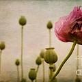 Depth Of Poppy Field by Priska Wettstein
