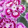 Dianthus Cranberry Ice Flowers by Jon Stokes