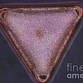 Diatom - Triceratium Formosum by Eric V. Grave