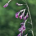 Dierama Pulcherrimum In Flower by Colin Varndell