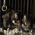 Domestic Rats At The George M. Sutton by Joel Sartore