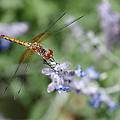 Dragonfly in the Lavender Garden Print by Rona Black