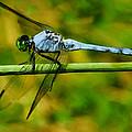 Dragonfly by Jack Zulli