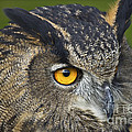 Eagle Owl 2 by Clare Bambers