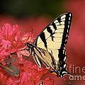 Eastern Yellow Tiger Swallowtail And Azaleas by Lara Ellis