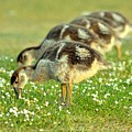 Egyptian Goslings by Pallab Seth