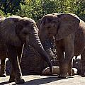 Elephants At The Pittsburgh Zoo by Stacy Gold
