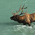 Elk In The Athabasca River by Bob Christopher