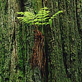 Epiphytic Fern Growing On Redwood by Gerry Ellis