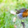 European Robin by Photostock-israel