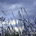 Evening Grass by Elena Elisseeva