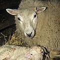 Ewe And New Born Lamb by David Aubrey