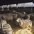 Ewes by David Aubrey