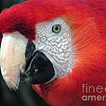 Face of Scarlet Macaw