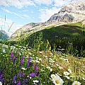 Field Of Daisies And Wild Flowers by Sandra Cunningham