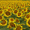 Field Of Domestic Sunflowers by Kenneth M Highfill and Photo Researchers