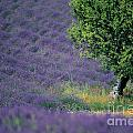 Field of lavender Print by BERNARD JAUBERT