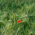 Field Of Wheat With A Solitary Poppy. by Bernard Jaubert