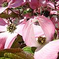 Fine Art Prints Pink Dogwood Flowers by Baslee Troutman