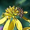 Firefly Fornication by Douglas Barnett