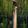 Florida Red-shouldered Hawk by Ronald T Williams