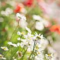 Flower meadow Print by Elena Elisseeva