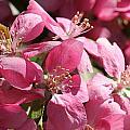 Flowering Crabapple In Bloom by Mark J Seefeldt