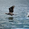 Flying Cormorant Bird by Mats Silvan
