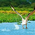 Flying Great White Pelican by Anna Omelchenko