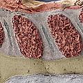 Foetal Spinal Column Print by Steve Gschmeissner
