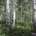 Forever Aspen Trees by Madeline Ellis