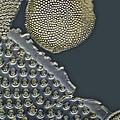 Fossil Diatoms, Light Micrograph Print by Frank Fox