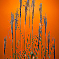 Fountain Grass In Orange by Steve Gadomski