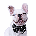 French Bulldog And Bow Tie by Maika 777