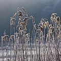 Frozen Reeds At The Shore Of A Lake by John Short