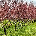 Fruit Orchard by Elena Elisseeva