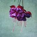 Fuschia Flower by Kim Hojnacki