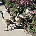 Garden Geese Parade by Susan Herber