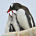 Gentoo Feeding Time by Tony Beck