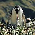 Gentoo Penguin Feeding Chick by Charlotte Main