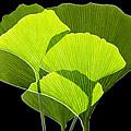 Ginkgo Leaves Print by Pasieka