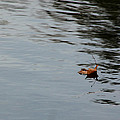Gliding Across The Pond by LeeAnn McLaneGoetz McLaneGoetzStudioLLCcom