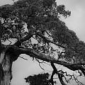 Gnarly Cedar Tree by Teresa Mucha